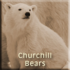 Churchill Bears