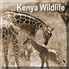 Kenya Wildlife